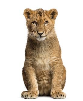 Löwenbaby sitzt und schaut in die kamera