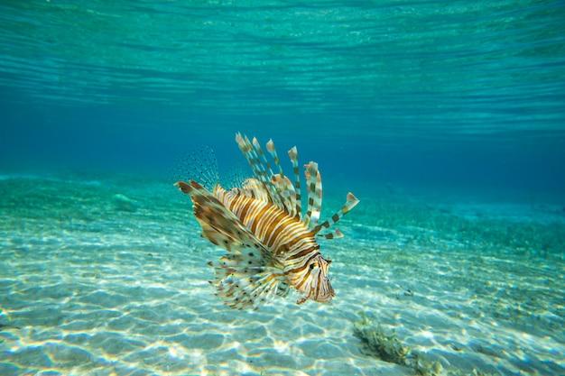Löwenfisch, der unter wasser schwimmt