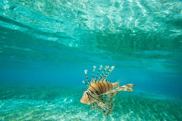 Löwenfische schwimmen unter wasser Premium Fotos