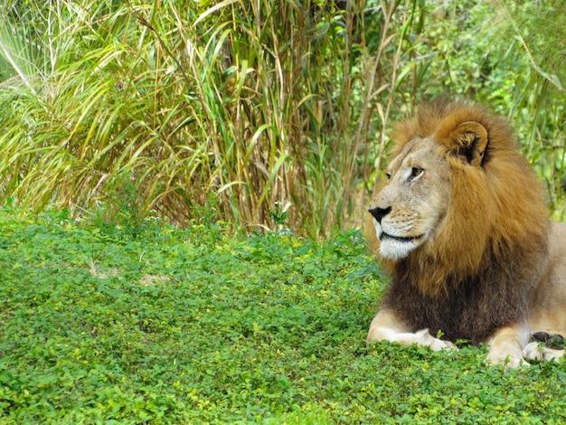 Löwengesicht