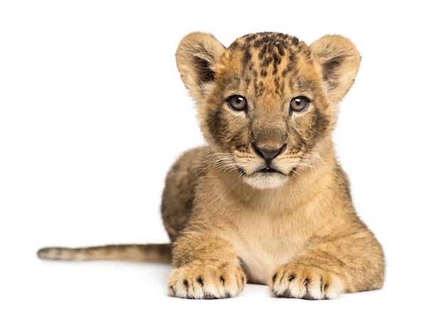 Löwenjunges liegend, das die kamera lokalisiert auf weiß betrachtet