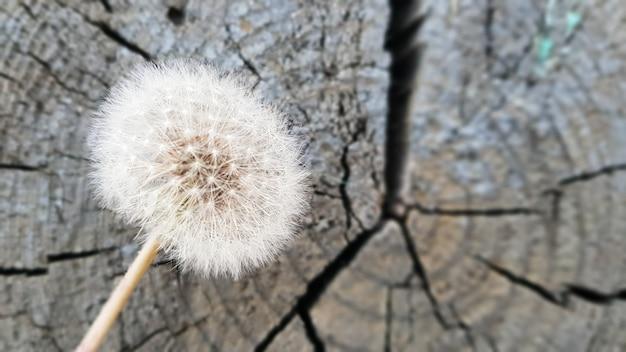 Löwenzahn auf einem baumstumpf. natürlicher holzhintergrund - löwenzahnblumen auf einem alten stumpf mit jahresringnahaufnahme. selektiver fokus, platz für kopie.