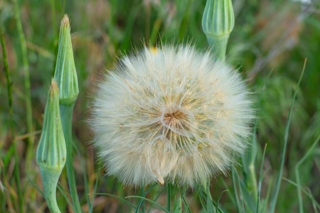 Löwenzahn auf einem feld in den strahlen der sonnenluftblume