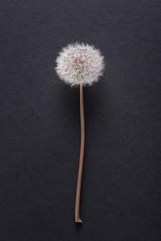 Löwenzahn, blowballblume nah oben auf schwarzem grund, kopienraum