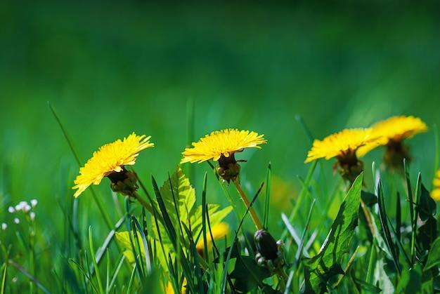Löwenzahn gelbe blumen im grünen gras an einem sonnigen tag