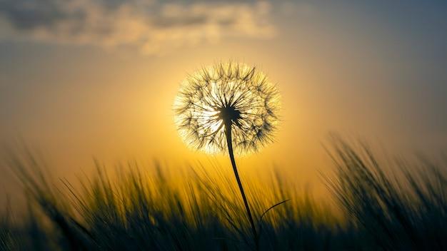 Löwenzahn silhouettiert gegen den sonnenunterganghimmel. natur und botanik der blumen
