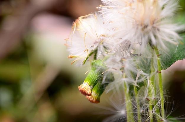 Löwenzahnblume auf natürlichem grünem hintergrund