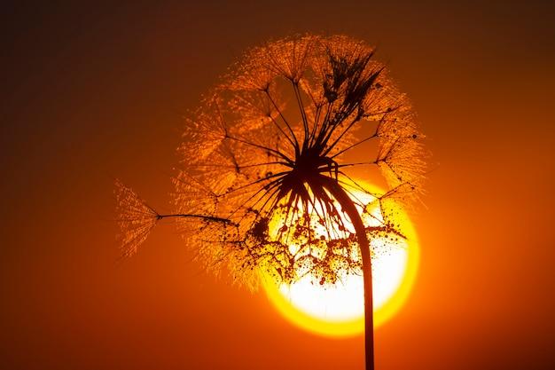 Löwenzahnblume mit tropfen morgentau auf dem hintergrund der sonne. natur und blumenbotanik