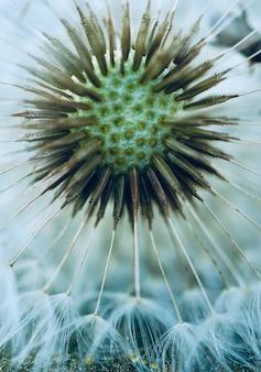 Löwenzahnblume pflanze