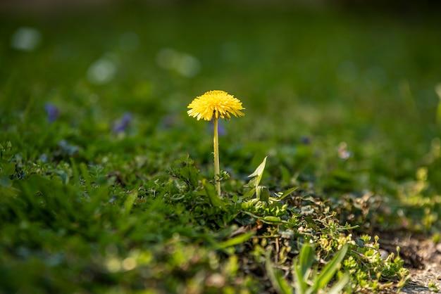 Löwenzahnblume umgeben von grünem gras im frühling