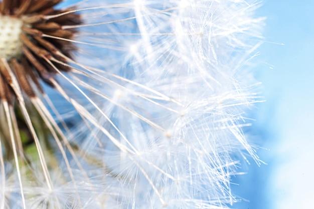 Löwenzahnsamen, die im wind im sommer auf blauem hintergrund blasen