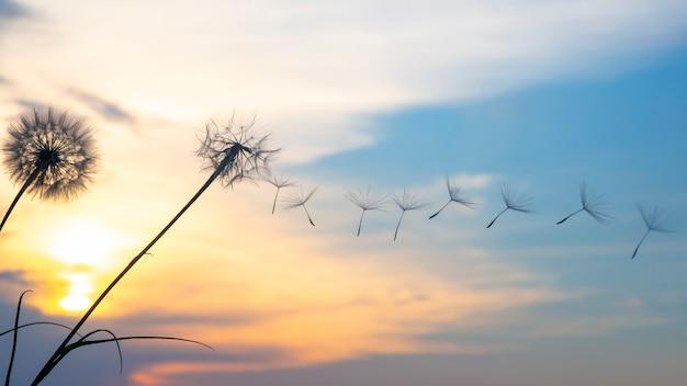 Löwenzahnsamen fliegen vor dem hintergrund des sonnenuntergangshimmels. blumenbotanik der natur