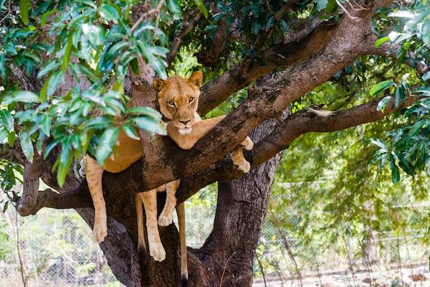 Löwin auf einem ast
