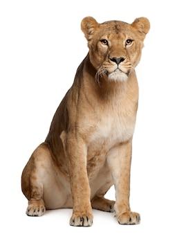 Löwin auf weiß in einem studio