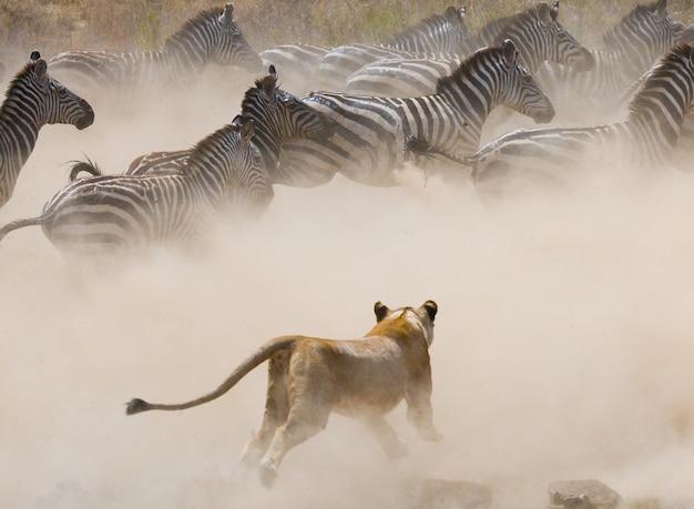 Löwin greift ein zebra an