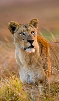 Löwin im gras