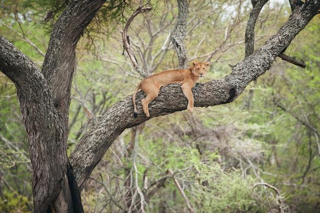 Löwin in den zweigen eines baumes in afrika
