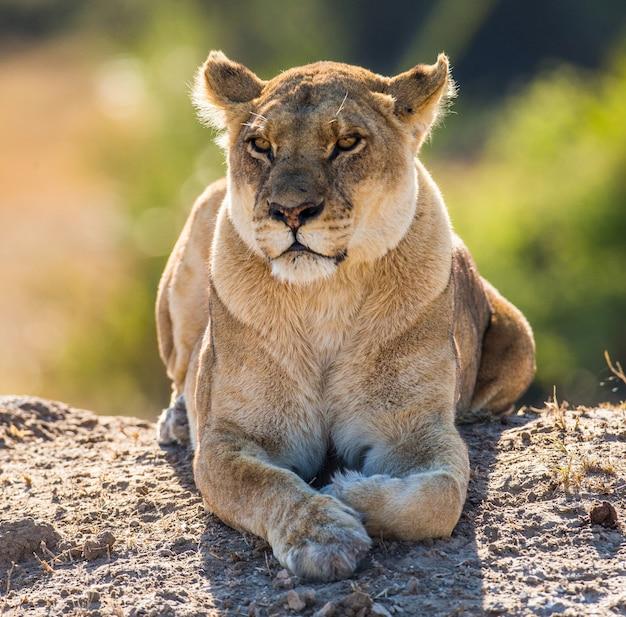 Löwin liegt auf dem boden