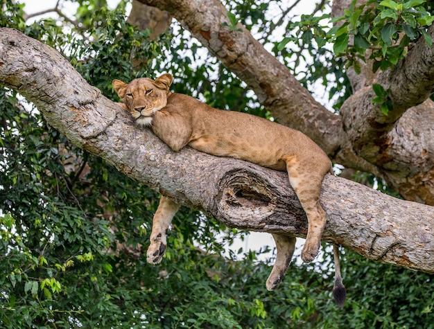 Löwin liegt auf einem großen baum