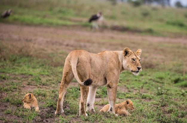 Löwin mit jungtier in der natur