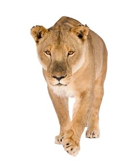 Löwin, panthera leo auf einem weißen isoliert