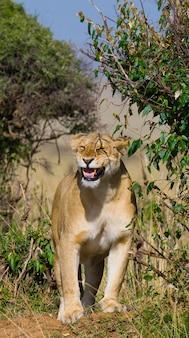 Löwin steht im gebüsch. savanne. nationalpark. kenia. tansania. masai mara. serengeti.