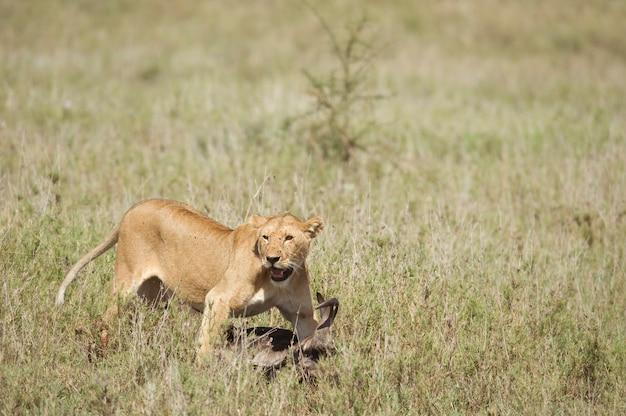 Löwin und ihre beute