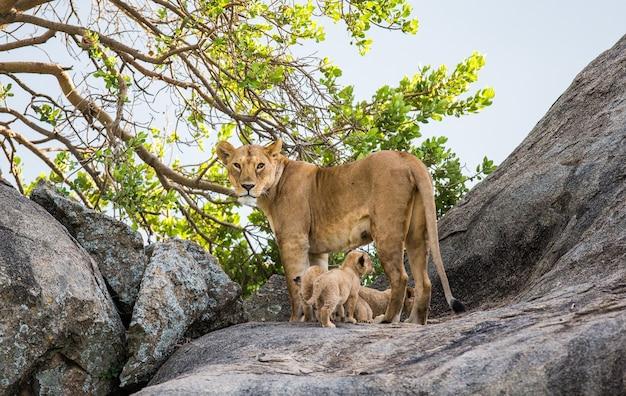 Löwin und ihre jungen auf einem großen felsen.