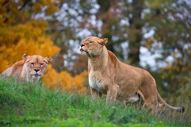 Löwinnen in freier wildbahn