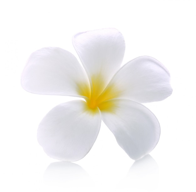 Lokalisierter weißer hintergrund der frangipaniblume