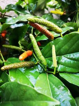 Long pepper ist ein gewürz, das gewürze verwendet. und die zutaten der alten medizin.