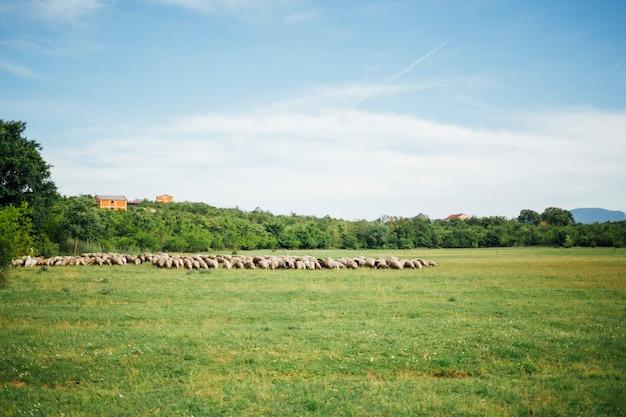 Long shot der schafherde gras auf der weide essend