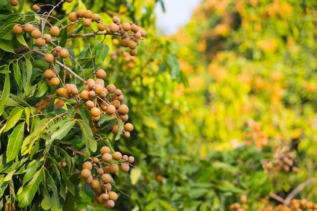 Longan-frucht in der farm des bauern, die viele früchte am longan-baum in chiang mai thailand hat