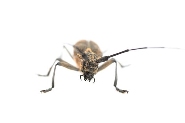 Longhorn beetle oder longicorn cerambycidae isoliert auf weißem hintergrund