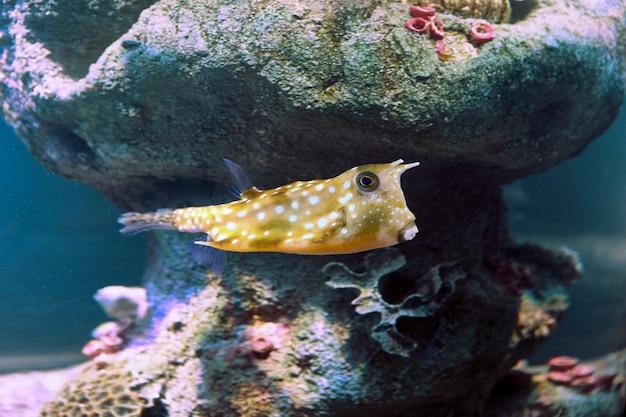 Longhorn cowfish oder lactoria cornuta hinter glas des meerwasseraquariums in der russischen stadt st. petersburg.