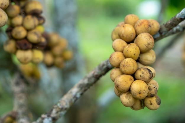 Longkong obst aus ostthailand schöne ergebnisse zu verkaufen.