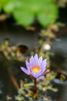 Lotus-anlage in bandung, indonesien