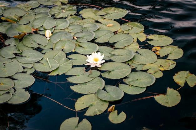 Lotus auf der wasseroberfläche des sees, eine wunderschöne blühende nymphaea oder lotusblume schwingt auf ruhigem w...