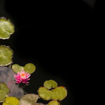 Lotus auf teich für kopienraum ihr text und design