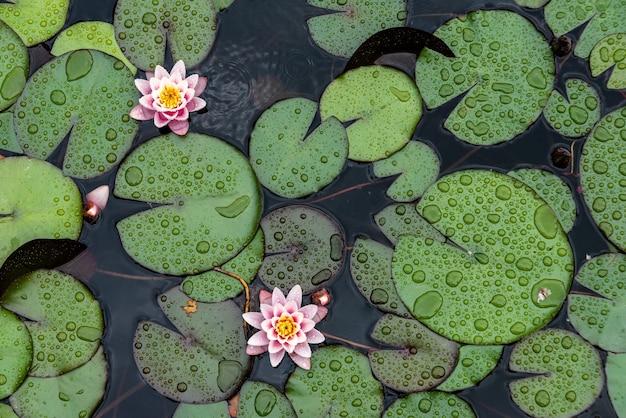 Lotus blüht im teich. draufsicht auf lotusblumen, flache lage, natürlicher hintergrund von pflanzen.