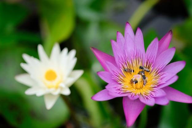Lotus-blume mit beschäftigter biene.