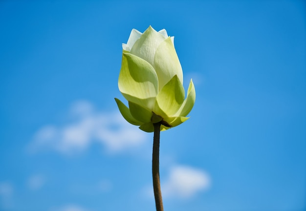 Lotus blume