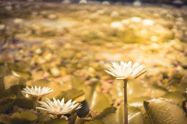 Lotus-blumenanlagen und lotosblume im teich, thailand.