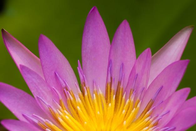 Lotus-blumenblütenabschluß oben