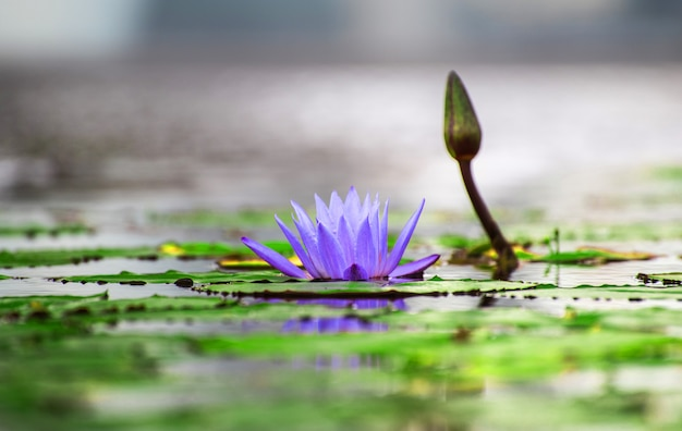 Lotus lilly flower blossom auf dem wasser