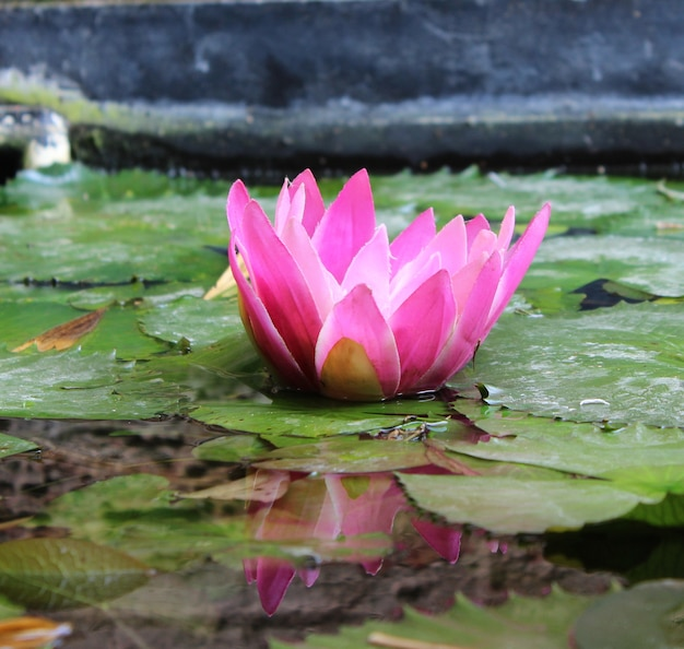 Lotus mit reflexion
