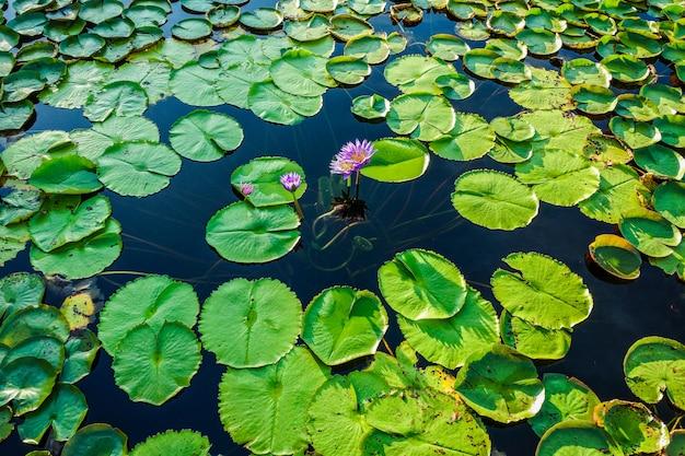 Lotus park in sakon nakhon, thailand