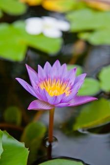 Lotus seerose