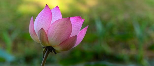 Lotus und der morgendliche sonnenuntergang