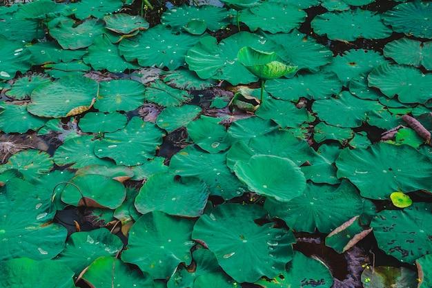 Lotusbaum und lotusblatt